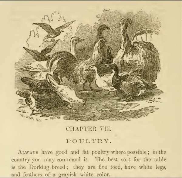 Sketch of poultry 1850s