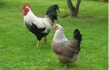 dorking_chicken