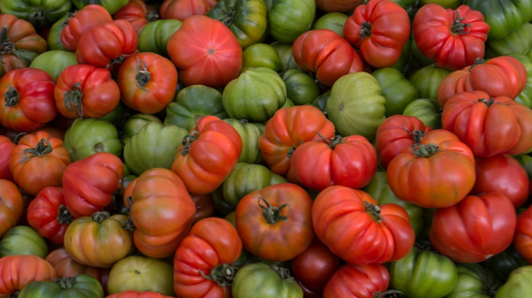 Pile of green and red tomatoes