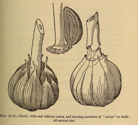 VictorianGarlicSketch