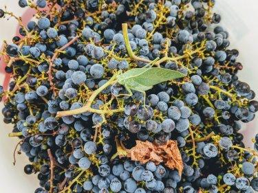 Grape_Harvest-2018_Bug