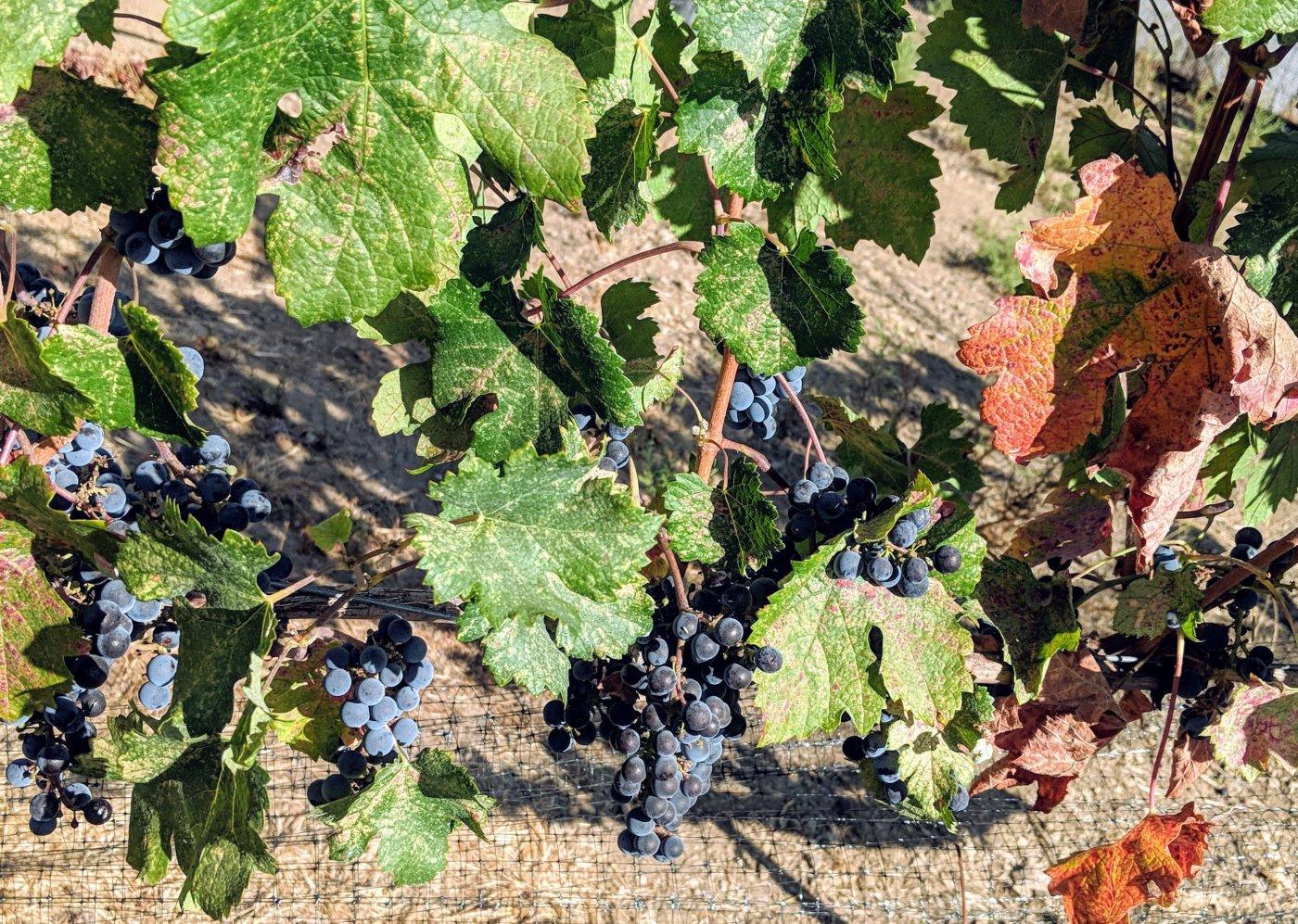 Merlot_Grapes-on vine-2018.jpg