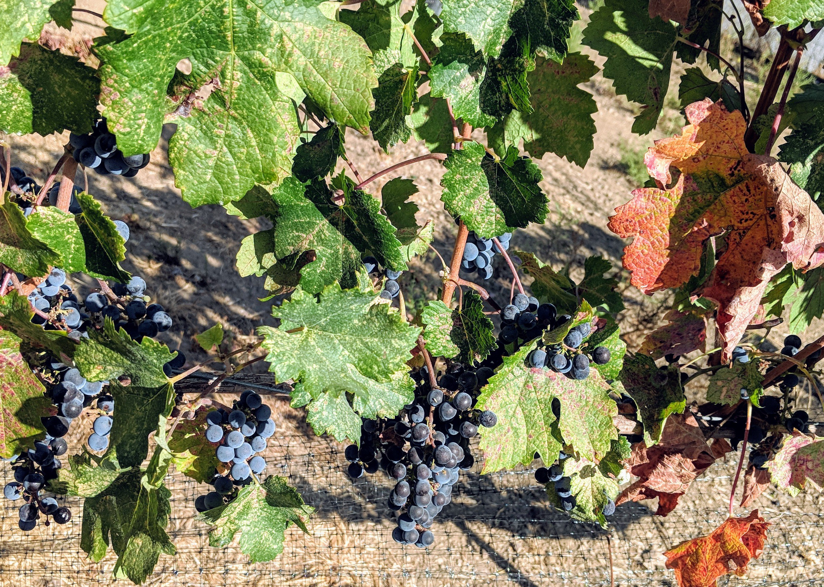 Merlot_Grapes-on vine-2018.jpg