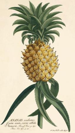 Pineapple_1800s