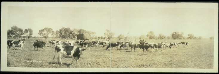 Black-and-white-photograph-holstein-cows-in-field
