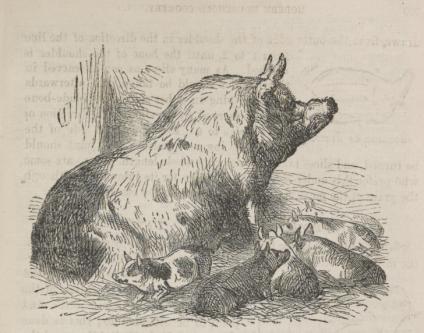 Hogs-Mrs-Beeton