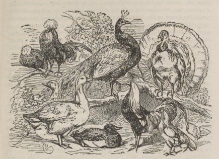 Birds Sketch 1860s
